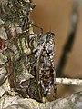 Grey Cicada (Cicada orni) (35638728662).jpg