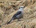Grey Jay (Perisoreus canadensis) (19730419123).jpg