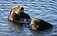 Grooming sea otter (15086078959).jpg