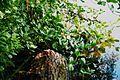 Grosses Heiliges Meer Menyanthes trifoliata 1.jpg