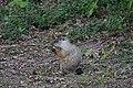 Groundhog (37631123812).jpg