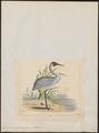 Grus australasiana - 1820-1860 - Print - Iconographia Zoologica - Special Collections University of Amsterdam - UBA01 IZ17300119.tif