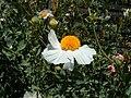 Gualala Flower.jpg