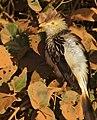 Guira Cuckoo (Guira guira) sunning itself ... (30970446463).jpg