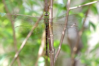 <i>Gynacantha rosenbergi</i> Species of dragonfly