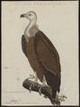 Gyps fulvus - 1770-1829 - Print - Iconographia Zoologica - Special Collections University of Amsterdam - UBA01 IZ18100075.tif