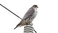 Gyrfalcon (Falco rusticolus) (32306282210).jpg
