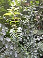 HK 半山區 Mid-levels 堅巷花園 Caine Lane Garden green leaves February 2020 SS2 15.jpg