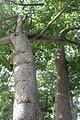 HK CWB 高士威道 Causeway Bay Road 維多利亞公園 Victoria Park tree Sept 2017 IX1 吉貝 Ceiba pentandra trunk 10.jpg