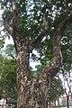 HK CWB 高士威道 Causeway Bay Road 維多利亞公園 Victoria Park tree Sept 2017 IX1 水翁 Cleistocalyx operculatus 03.jpg