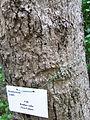 HK Sheung Wan 上環 卜公花園 Blake Garden tree cotton 木棉樹 trunk April-2012.JPG