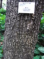 HK Sheung Wan 上環 卜公花園 Blake Garden tree trunk 欖仁樹 Indian Almond April-2012.JPG