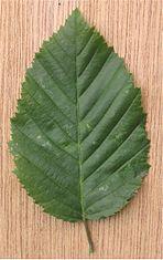 Haagbeuk dubbelgezaagd blad Carpinus betulus.jpg