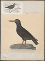 Haematopus unicolor - 1825-1838 - Print - Iconographia Zoologica - Special Collections University of Amsterdam - UBA01 IZ17300015.tif