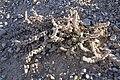 Halogeton glomeratus (29241274093).jpg