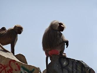 Hijaz Mountains - Hamadryas baboons near Al Hada in Makkah Province