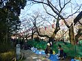 Hanami-path-uenopark-march26-2016.jpg