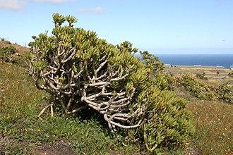 Kleinia neriifolia - Image: Haría Calle Vista del Valle Senecio kleinia 02 ies