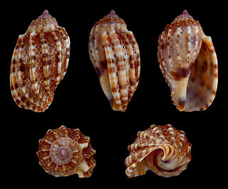 <i>Harpa amouretta</i> species of mollusc