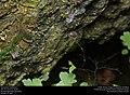 Harvestman (Opiliones) (30421086784).jpg