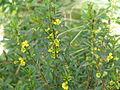 Heimia salicifolia (10650550353).jpg