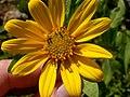 Helianthella uniflora (3483282128).jpg