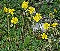 Helianthemum nummularium inflorescence (17).jpg