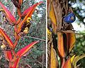 Heliconia pastazae (14528898106).jpg
