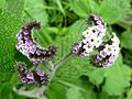 Heliotrope sp. - Flickr - gailhampshire.jpg