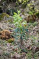 Helleborus foetidus in Aveyron (6).jpg