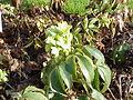 Helleborus lividus corsicus1.jpg