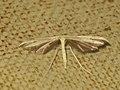 Hellinsia ?osteodactyla (40479226734).jpg