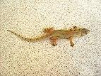 Hemidactylus mabouia (Dominica).jpg
