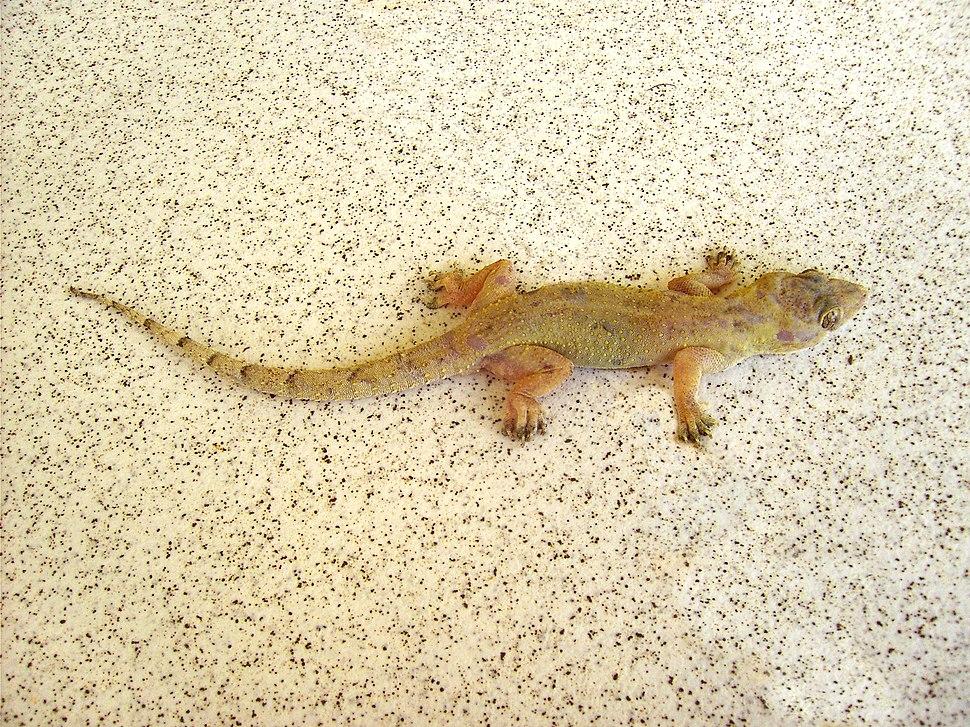 Hemidactylus mabouia (Dominica)