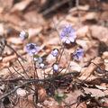 Hepatica nobilis1.jpg