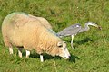 Heron that catches a big mouse while the sheep is totally not interested^ Wildlife near Westervooort - panoramio.jpg