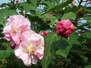 Confederate rose (''Hibiscus mutabilis'')