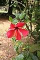 Hibiscus Rosa Sinensis 06.jpg
