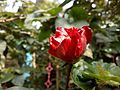Hibiscus rosa-sinensis (Bengali - জবা ফুল) - 3.jpg