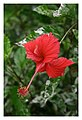 Hibiscus rosa-sinensis L.jpg