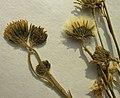 Hieracium laevigatum herbarium (01).jpg