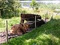 Highland cattle Inverlochy Castle farm. - geograph.org.uk - 107769.jpg