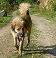 Himalayan sheep dog 2.jpg