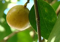 Hippomane mancinella, the Death Apple (11239909065).jpg