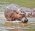 Hippopotamus in water.jpg
