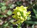 Hirschfeldia incana FlowersCloseup October032009 DehesaBoyalPuertollano.jpg