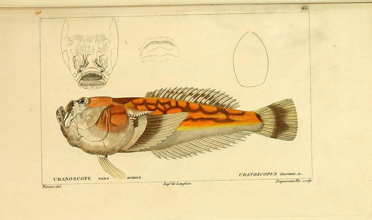 Ichthyscopus wikipedia la enciclopedia libre for Histoire des jardins wikipedia