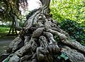 Historical tree roots at Luxembourg Gardens.jpg
