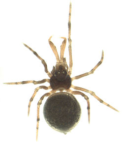 Holarchae sp.