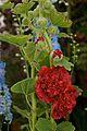 Hollyhock Chater's Dbl Scarlet 2.jpg